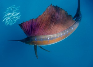 sailfish-circles-sardines-615